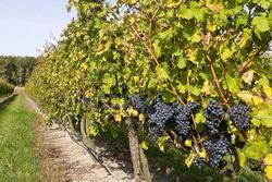 К 2020 году площадь кубанских виноградников составит 30 тыс. гектаров