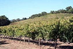В Крыму финансово поддержат выращивание молодых виноградников