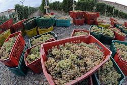 В Армении ожидается богатый виноградный урожай