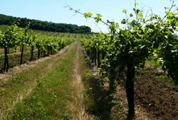 В Анапе начнется возведение винодельческих хозяйств по образцу французских шато