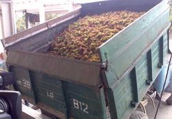 Армения: Ереванский коньячный завод приобретет на треть больше винограда