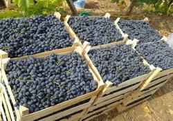 В Молдавии планируют собрать около 0,5 млн т винограда