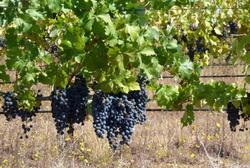 В Краснодарском крае идет сбор виноградного урожая