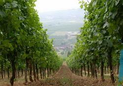 Франция: скудный виноградный урожай приведет к повышению цен на французские вина
