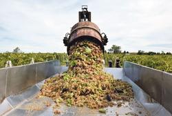 В Дагестане будет собрано в 2 раза больше винограда