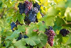В 2013 году в Армении было закуплено на 10% больше винограда