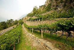 В Италии собрано на 15% больше винограда