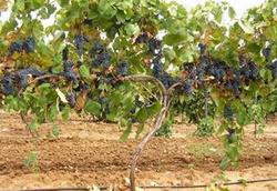 В нынешнем году в Ставрополье было собрано в 2 раза больше винограда