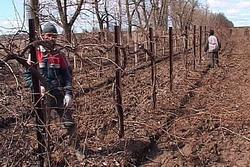 К 2020 году анапские виноградники будут занимать 9 тысяч гектаров