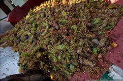Украина: в 2013 году на виноматериалы ушло на 29% больше винограда