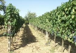 В 2013 году в Дагестане было выработано порядка 8 млн дал виноматериалов