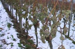 Часть украинских виноградников пострадала от мороза