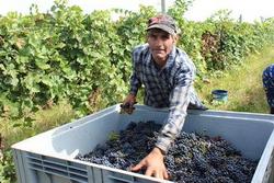 Молдавия: богатый виноградный урожай не будет востребован виноделами
