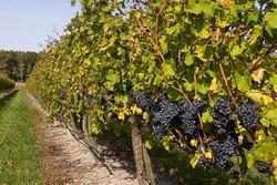 Украина: за I полугодие Херсонская область уплатила свыше 3,5 млн гривен сбора на развитие виноградарства, садоводства и хмелеводства