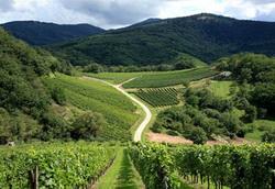 Азербайджан: через 6 лет площадь виноградников в Шамкирском районе увеличится в 2 раза