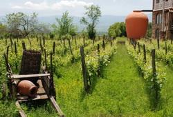 Урожай винограда в Грузии из-за погодных условий сократится в 2 раза