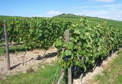 В Молдавии в нынешнем году будет собрано 300 тыс. т винограда