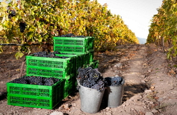 В 2014 году Ереванский коньячный завод заготовит 37 тыс. т винограда