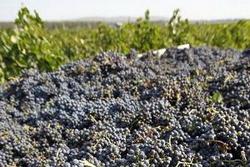 В Дагестане завершается уборка виноградного урожая