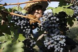 В Грузии было собрано рекордное количество винограда
