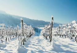 В Саратовской области будут выращивать морозостойкий виноград
